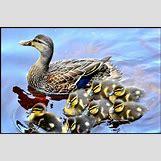 Drake Mallard Duck | 640 x 423 jpeg 106kB
