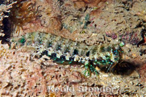 ciliated mantis shrimp pseudosquilla ciliata