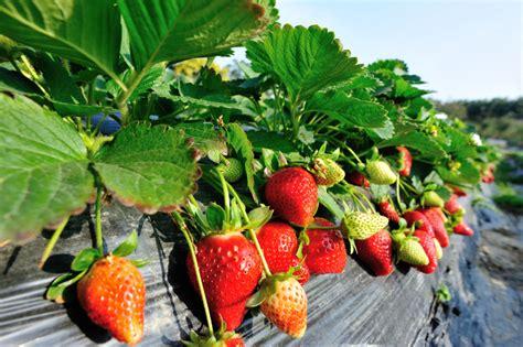 erdbeeren remontierende sorten immertragende erdbeeren sorten immertragende erdbeerpflanzen kaufen in top qualit t beim bild
