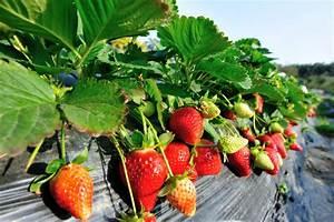 Erdbeeren Pflanzen Die Wichtigsten Tipps : immertragende erdbeeren tipps zu sorten pflege ~ Lizthompson.info Haus und Dekorationen
