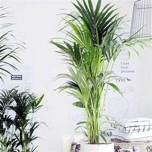 Plante De Salon : kentia 180 200 cm plantes et jardins ~ Teatrodelosmanantiales.com Idées de Décoration