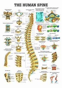 Human Spine Poster
