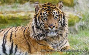 Fierce Tiger Wallpaper - Desktop Wallpapers Free ...