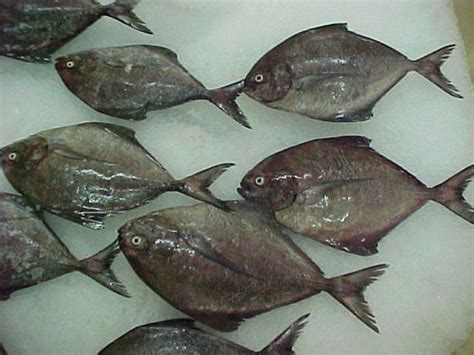 black pomfret fish  thrissur kerala india nature