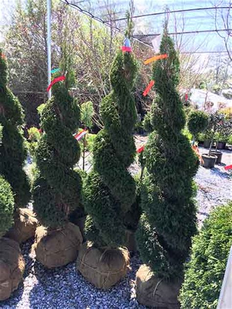 topiary trees live topiary trees topiary forms live artificial indoor outdoor