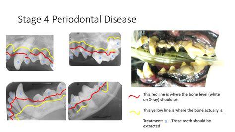 stages  pet periodontal disease pet dental health avdc