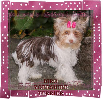 biro yorkshire terrier colorful yorkshire