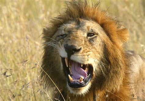 gay lions spotted  sex   savannah kenyan