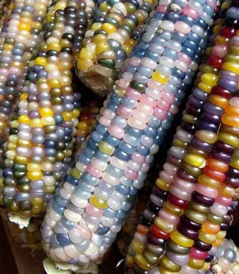 glass gem seeds organic true native heirloom cherokee indian carl s glass gem corn 100 seeds