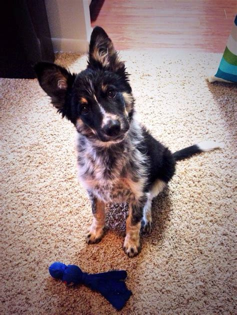 Do Blue Heeler Border Collies Shed by Best 25 Blue Border Collie Ideas On