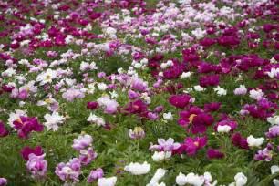 peony flowers saiba como cultivar flores do co giuliana flores