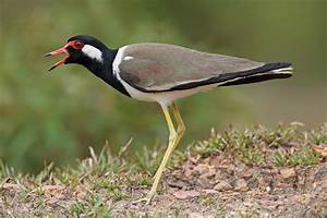 Malaysian Wildlife Photography: Red-wattled Lapwings