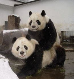 Animals Mating Pictures Wallpaper - animals wallpapers photos pandas mating