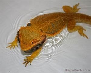 Black Baby Bearded Dragon | www.imgkid.com - The Image Kid ...