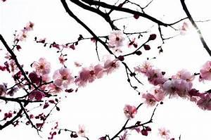 Tatouage Arbre Japonais : cerisier japonais fil argent ~ Melissatoandfro.com Idées de Décoration