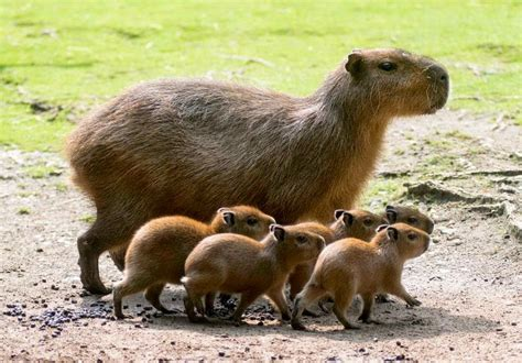 capybara pet 8 exotic animals that can be kept as pets fun animals wiki videos pictures stories