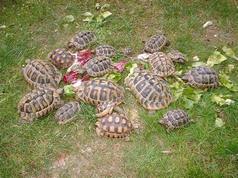 tartarughe alimentazione alimentazione tartarughe terrestri con tartarughe di terra