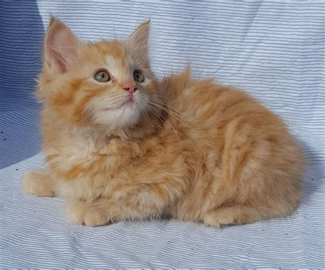 Gorgeous Ginger Female Friendly Ragdoll X Kitten