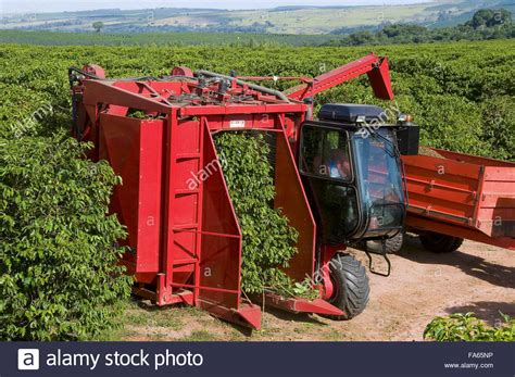 All original artworks are the property of vector4free.com. Mechanical harvesting of coffee - Variety New World Stock Photo - Alamy