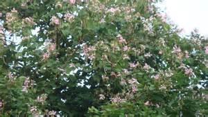 the beautiful kachnar tree jugnoo farms