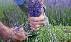 Rosen Zurückschneiden Wann Und Wie Weit : wie schneidet man lavendel lavendel schneiden pflegen das m ssen sie wissen living at home ~ Buech-reservation.com Haus und Dekorationen