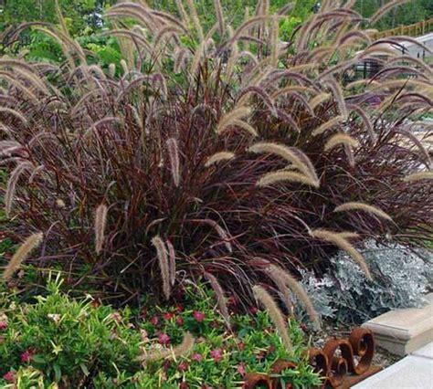 purple grasses red foxtail grass 6 quot pot hello hello plants garden supplies