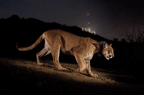 Famous Mountain Lion May Be Holed Up Under Los Angeles House