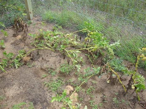 what happens when you plant a potato easy guide to planting growing potatoes in your own garden the country basket