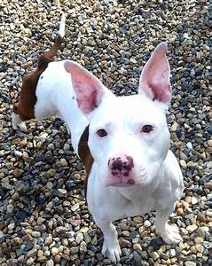 Terrier Pitbull Mix | www.imgkid.com - The Image Kid Has It!