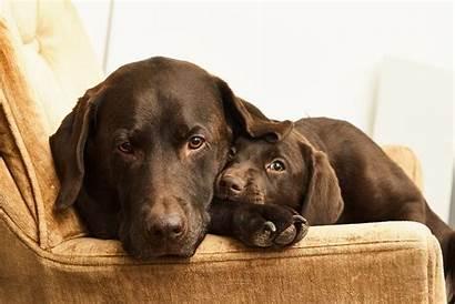 Labrador Dog Retriever Dogs Brown Chocolate Labradory