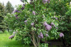 Flieder Schneiden Video : limettenbaum schneiden wann und wie macht man das ~ Orissabook.com Haus und Dekorationen