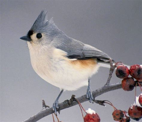 birds images tufted blue titmouse on a cherry tree