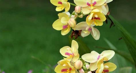 orchideen schneiden orchideen schneiden anleitung f 252 r den richtigen r 252 ckschnitt