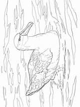 Albatross Albatros Coloring Ausmalbilder Ausdrucken Malvorlagen Kostenlos Zum Birds Template sketch template