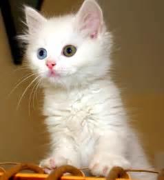 turkish cats file turkish cat jpg