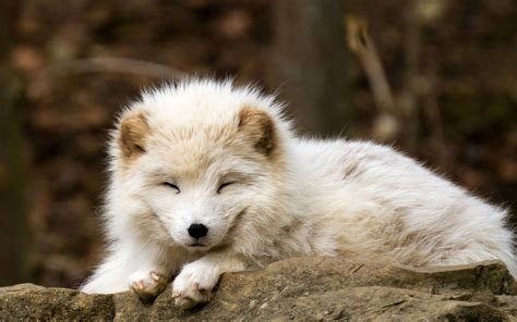 Desktop Wallpaper Baby Animals - nature animals baby animals fox arctic fox wallpapers