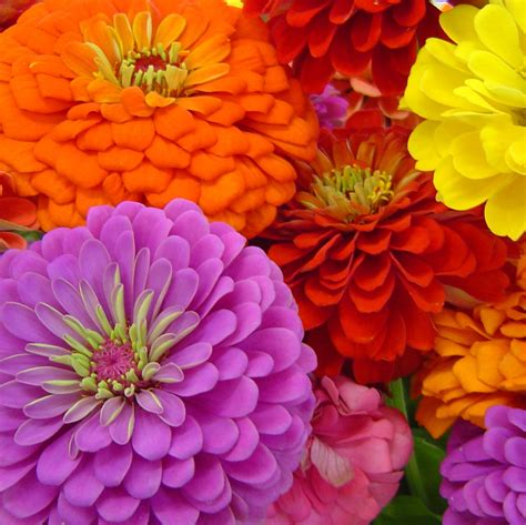 pics of zinnias benary s giant zinnia seed mixed colors