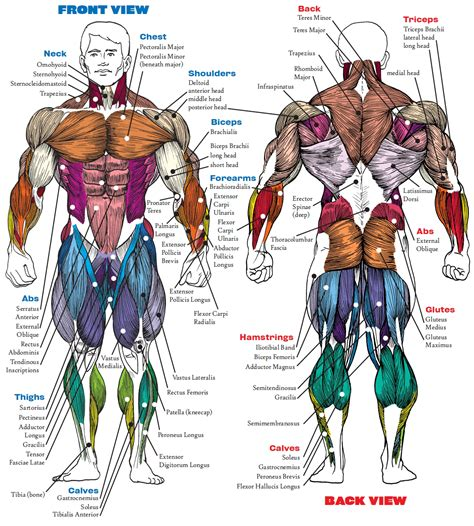 Select a muscle and it provides the exercises to workout the selected muscle. Best Exercises for Major Muscle Groups