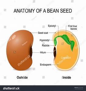 Anatomy Bean Seed Vector Diagram Outside Stock Vector