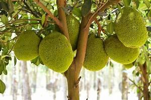 Jackfruit: Its Benefits, Taste and Ways To Enjoy It! – SWEAT