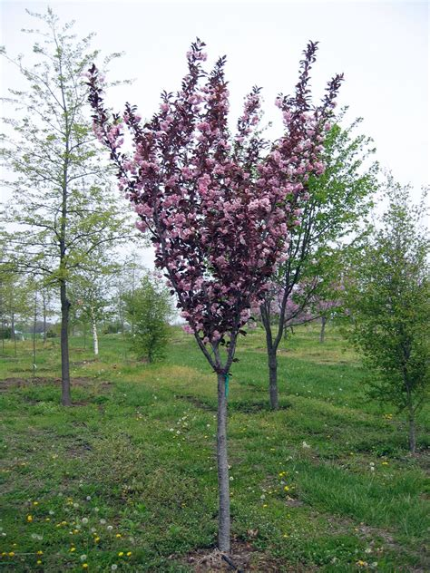 ornamental tree sun crabapple