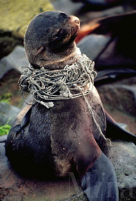 northern fur seal entangled  fishing net alaska