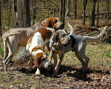 do walker coonhounds shed coonhound breed standards