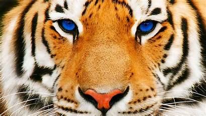 Tigre Resolutions Occhi Wide