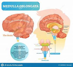 Brain Anatomy Medulla Oblongata And Spinal Cord Royalty