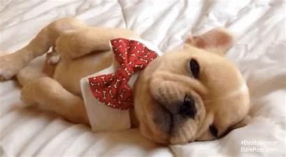 Gifs Sleepy Frenchie Serious Tie Pups Snoozy