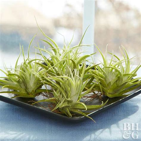 air garden plants how to grow and care for air plants
