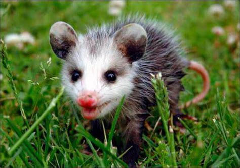 Possum Images How To Get Rid Of Possums Five Ways And Top 7 Repellents