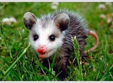 how to get rid of possums in backyard 28 images how to
