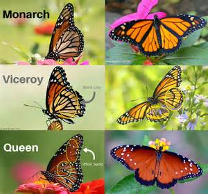 Viceroy Butterfly and Monarch Butterfly
